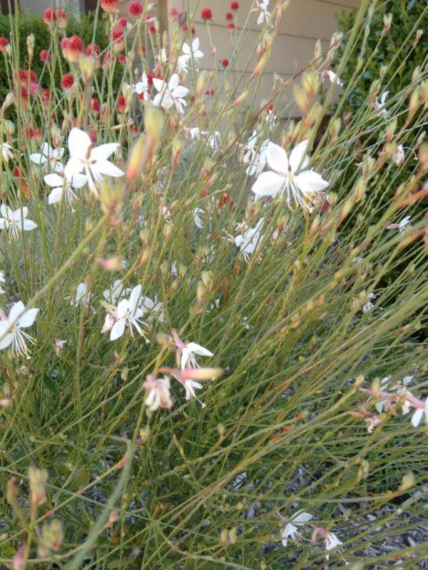 Guara Blooming